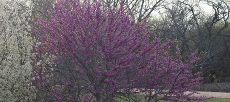 Redbuds in Bloom, by George Holcombe