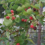 Raspberries! (at the WB Community Garden)