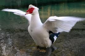 2013-06 Clean Male Duck