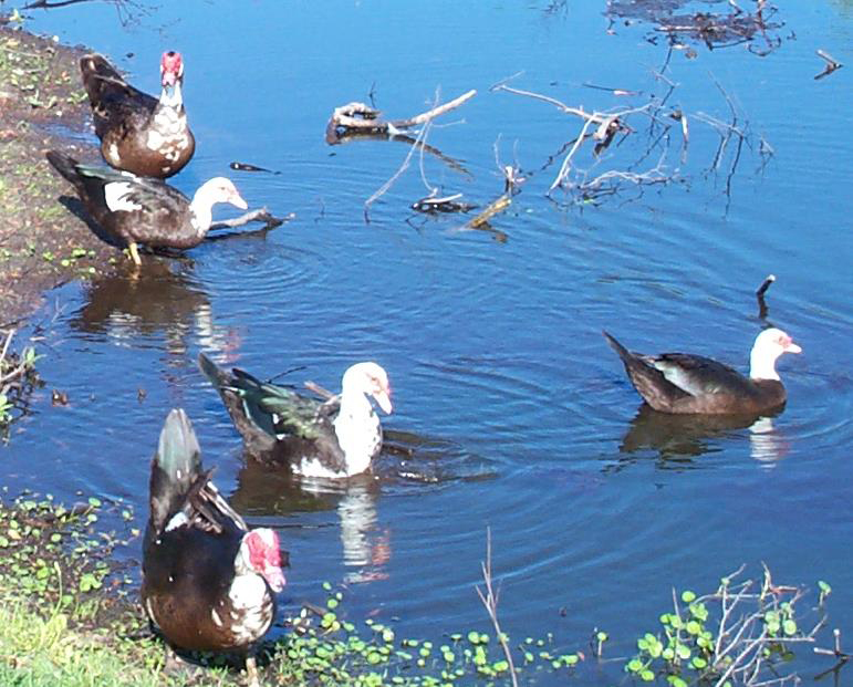 Ducks swimming in big pond • Photo courtesy of Betsey Harper